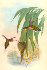 Antique Hummingbird Print 10