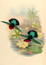 Antique Hummingbird Print 08