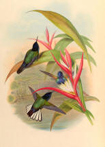 Antique Hummingbird Print 06