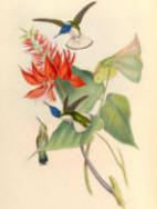 Antique Hummingbird Print 05