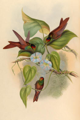 Antique Hummingbird Print 02